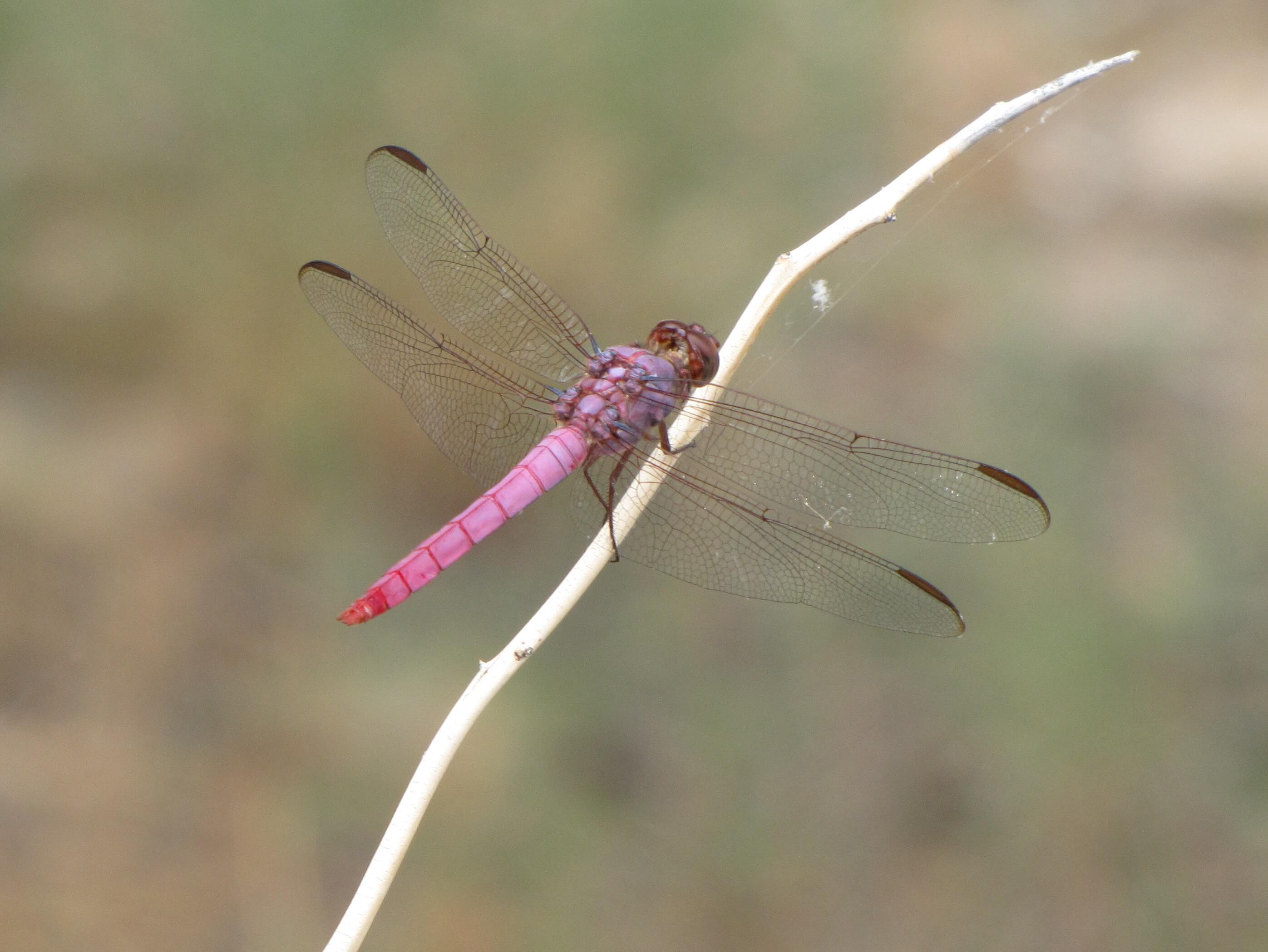 What Do You Call A Dragonfly After Bite Insectlopedia